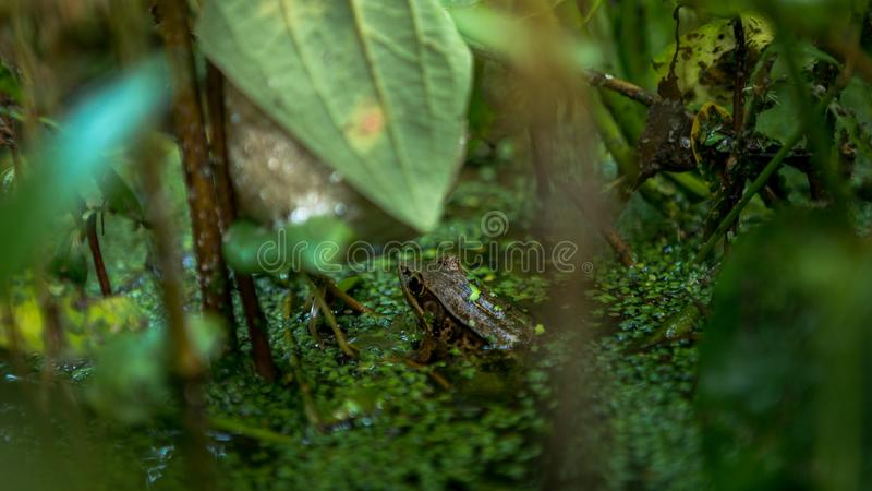 Close-up van volwassen kikkerrust op rand van vijver met groene plantaardige bladeren in Taiwan royalty-vrije stock fotografie