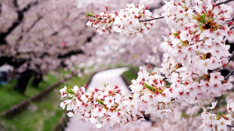 Close-up van vrolijke bloesemtak met roze die rivier door bloemblaadjes langs de sakuratunnel wordt behandeld royalty-vrije stock foto
