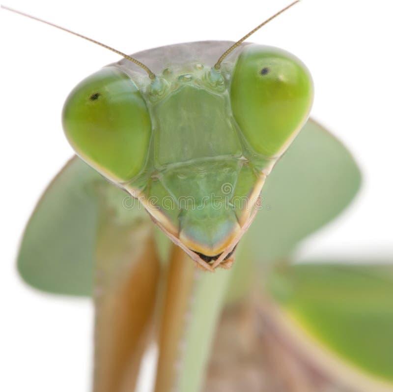 Close-up van Vrouwelijke Bidsprinkhanen stock fotografie