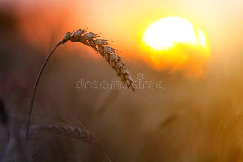 Close-up van warme gekleurde gouden gele rijpe geconcentreerde tarwehoofden op zonnige de zomerdag op zacht vaag mistig het gebie stock fotografie