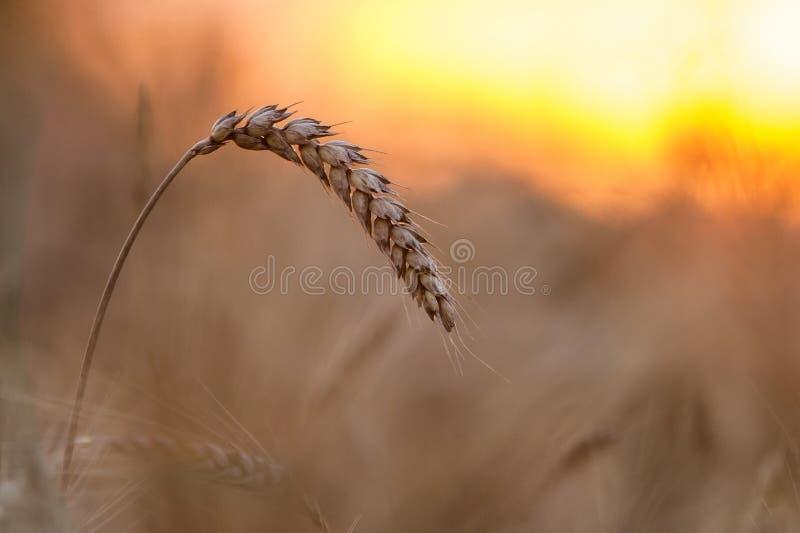 Close-up van warme gekleurde gouden gele rijpe geconcentreerde tarwehoofden op zonnige de zomerdag op zacht vaag mistig het gebie stock afbeelding