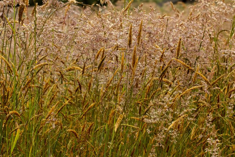 Close-up van weedy gras in een weide stock afbeelding