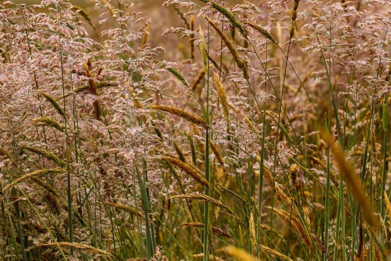 Close-up van weedy gras in een weide stock foto's