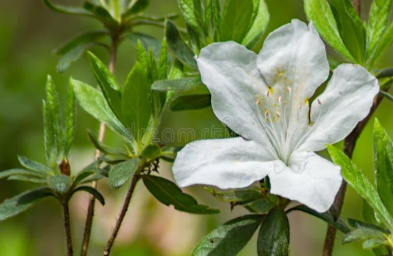 Close-up van Wilde Appalachian Berg Witte Azalea Flower royalty-vrije stock foto's