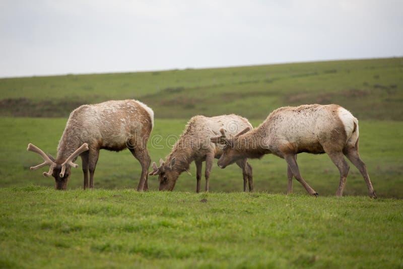 Close-up van wilde kudde van Tule-elanden het zwerven weiden in Punt Reyes National Seashore stock afbeeldingen