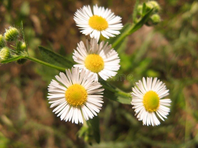 Close-up van wilde madeliefjebloemen Romantische Margrietbloem bij zonnige de zomerdag royalty-vrije stock fotografie