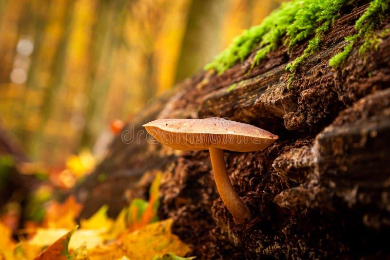 Close-up van wilde paddestoelen op een bosstomp met mos royalty-vrije stock foto