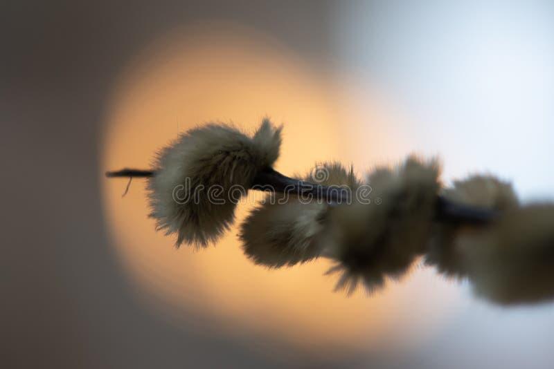 Close-up van wilgentakje met pluizige bloeiwijzen stock afbeelding