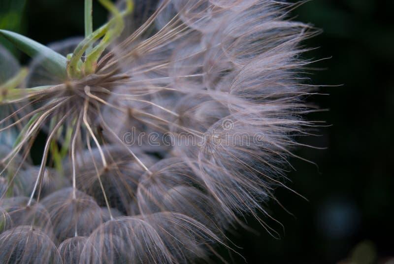 Close-up van winderige zaden van Paardebloem royalty-vrije stock foto
