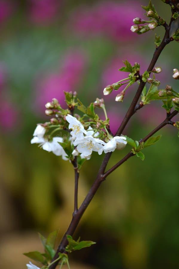 Close-up van Wit Cherry Blossoms, Aard, Macro stock fotografie