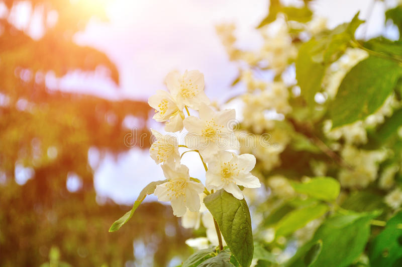 Close-up van witte bloeiende jasmijnbloemen onder zacht zonnig licht royalty-vrije stock afbeeldingen