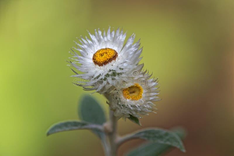 Close-up van witte bloeiende tuin stro-bloem stock afbeelding