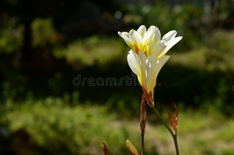 Close-up van Witte Fresiabloemen, Aard stock foto's