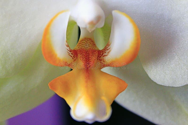 Close-up van witte orchidee Macro van mooie bloemorchidee royalty-vrije stock foto