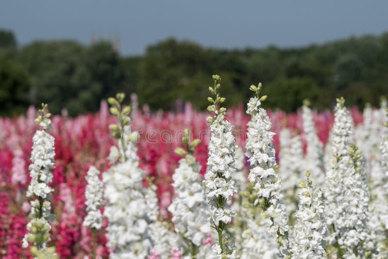 Close-up van witte riddersporen op gebied bij Wiek, Pershore, Worcestershire, het UK De bloemblaadjes worden gebruikt om huwelijk royalty-vrije stock afbeelding