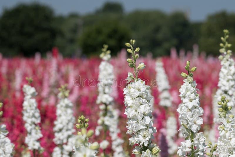Close-up van witte riddersporen op gebied bij Wiek, Pershore, Worcestershire, het UK De bloemblaadjes worden gebruikt om huwelijk stock foto