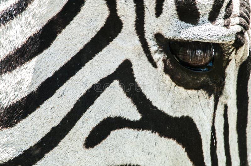 Close-up van Zebra, Tanzania, Afrika stock afbeelding