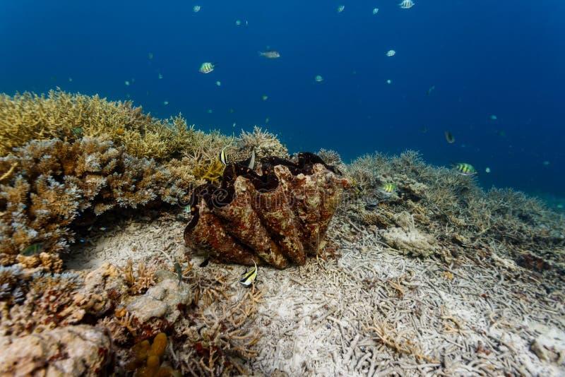 Close-up van zigzagpatroon van gesloten mond van reuzetweekleppig schelpdier op koraalrif stock fotografie