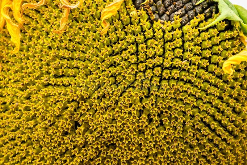 Close-up van zonnebloem natuurlijke achtergrond Het bloeien De zonnebloemen symboliseren bewondering, loyaliteit en levensduur royalty-vrije stock afbeelding