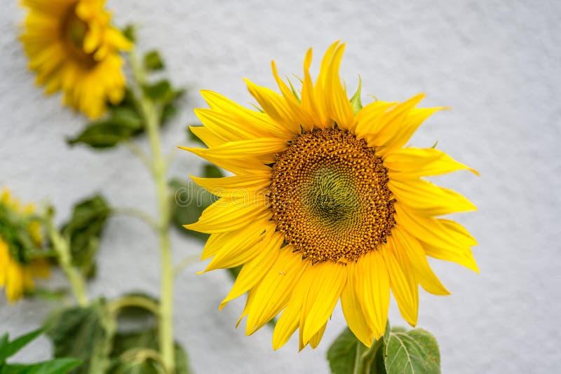 Close-up van zonnebloem natuurlijke achtergrond Het bloeien De zonnebloemen symboliseren bewondering, loyaliteit en levensduur stock afbeelding