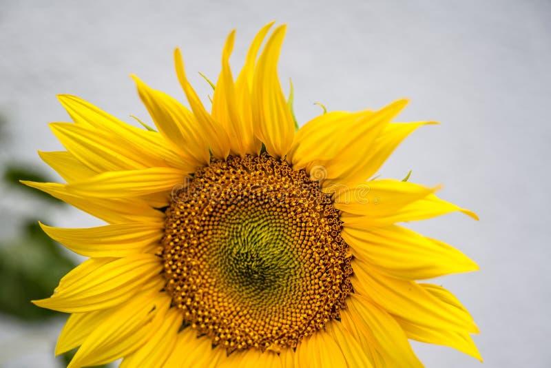Close-up van zonnebloem natuurlijke achtergrond Het bloeien De zonnebloemen symboliseren bewondering, loyaliteit en levensduur royalty-vrije stock foto