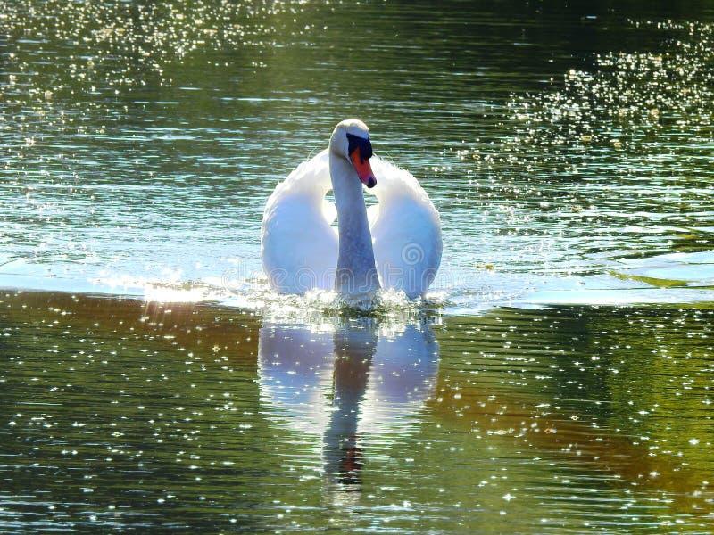 Close-up van zwaan die in het meer zwemmen stock foto