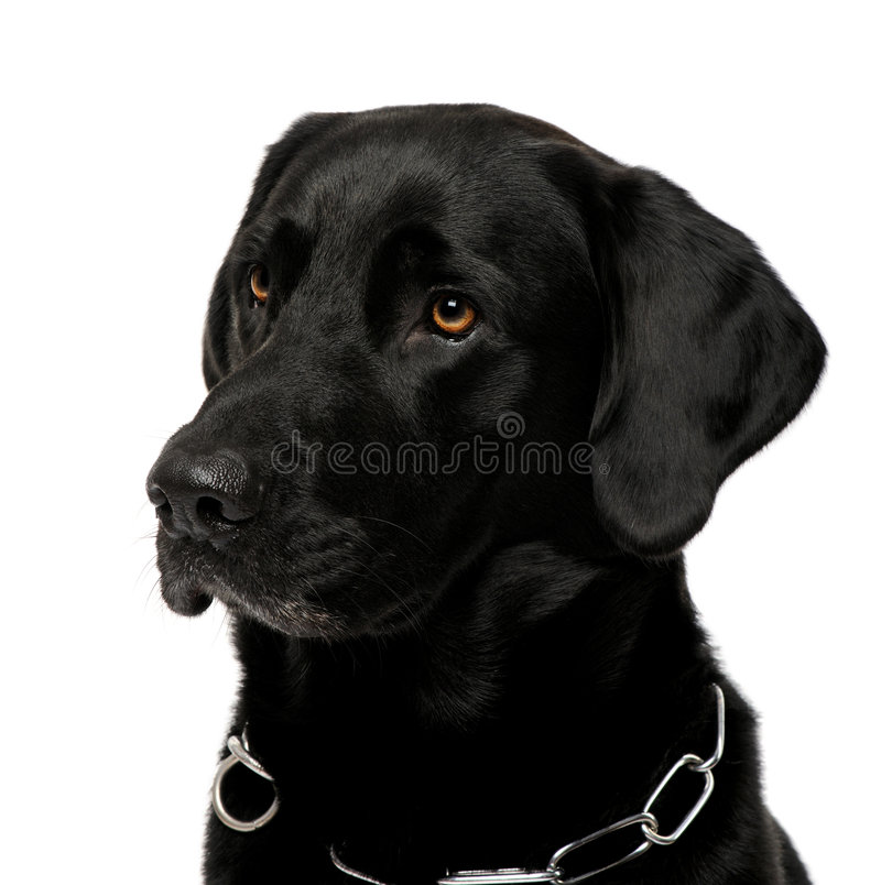 Close-up van zwart Labrador stock afbeeldingen