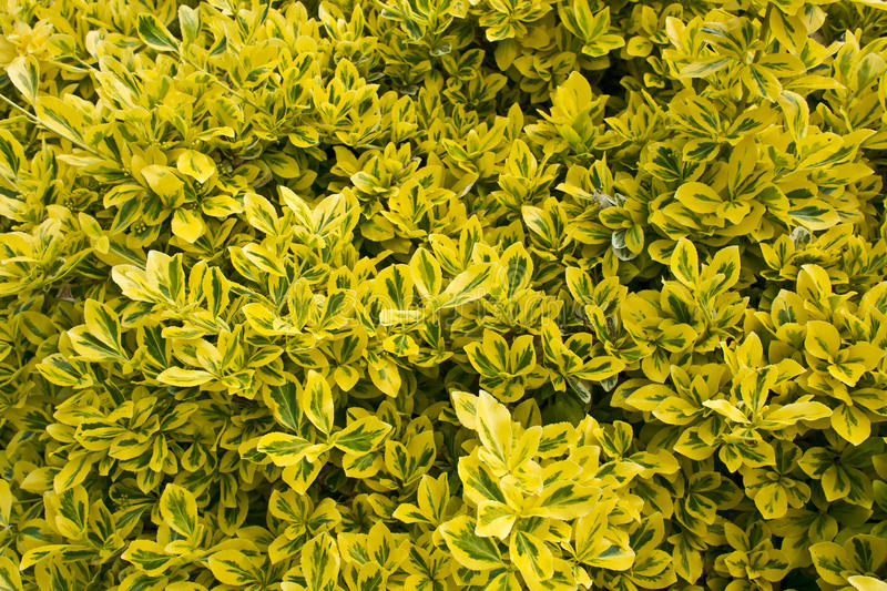 Close Up Of A Variegated Box Hedge Shrub Stock Photo