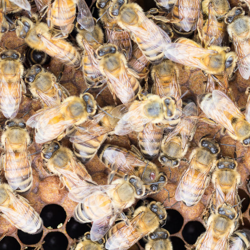 Close up of varroa mite on honeybee. Varroa mite on thorax of Italian worker honey bee. this mite [lays a role in colony collapse disorder stock photos