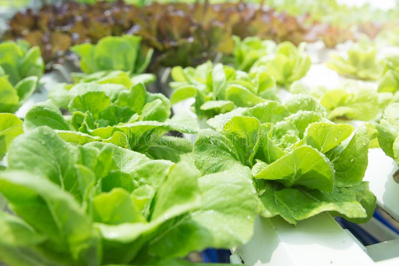 Close up in Vegetable garden during morning time food background concept with copy space stock photography