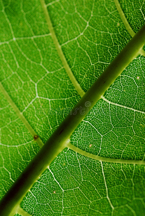 Close up of the veins on a green leaf stock image