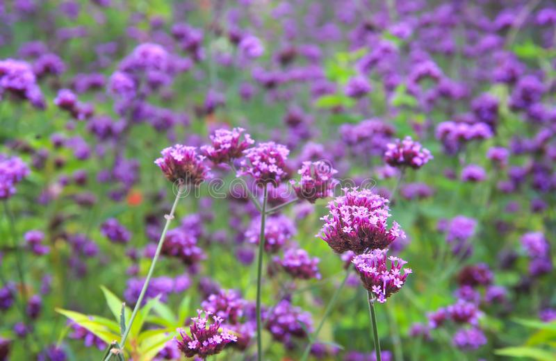 Close up Verbena field nature background , colorful flowers purple blooming in garden royalty free stock image