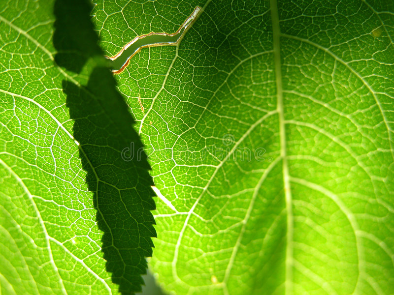 Close up verde 1 da folha imagem de stock royalty free