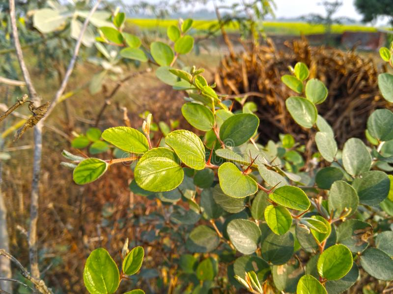Close up verde da folha da árvore de ameixa imagem de stock