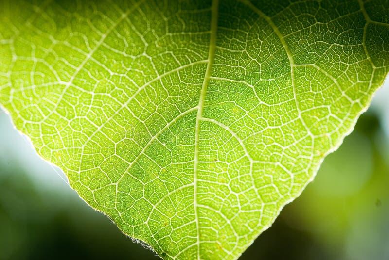 Close-up verde da folha ?rvore de figo fotografia de stock royalty free