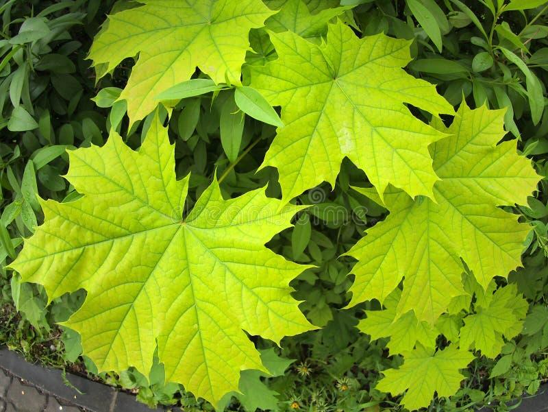Close up verde das folhas de bordo imagens de stock