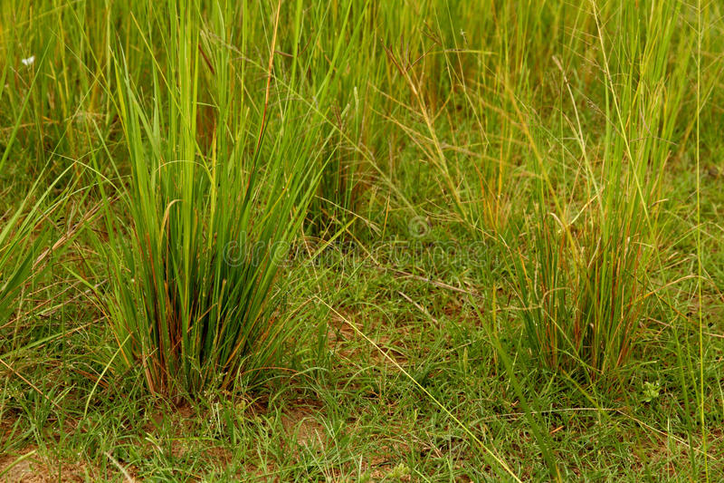 Close-up verde de Savannah Grasses foto de stock