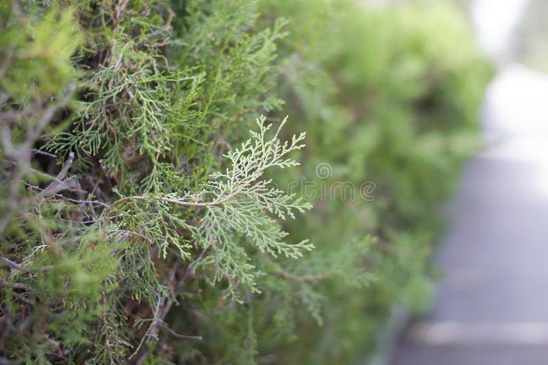Close-up verde do arbusto no fundo do parque O ramo verde do close up do arbusto foto de stock royalty free