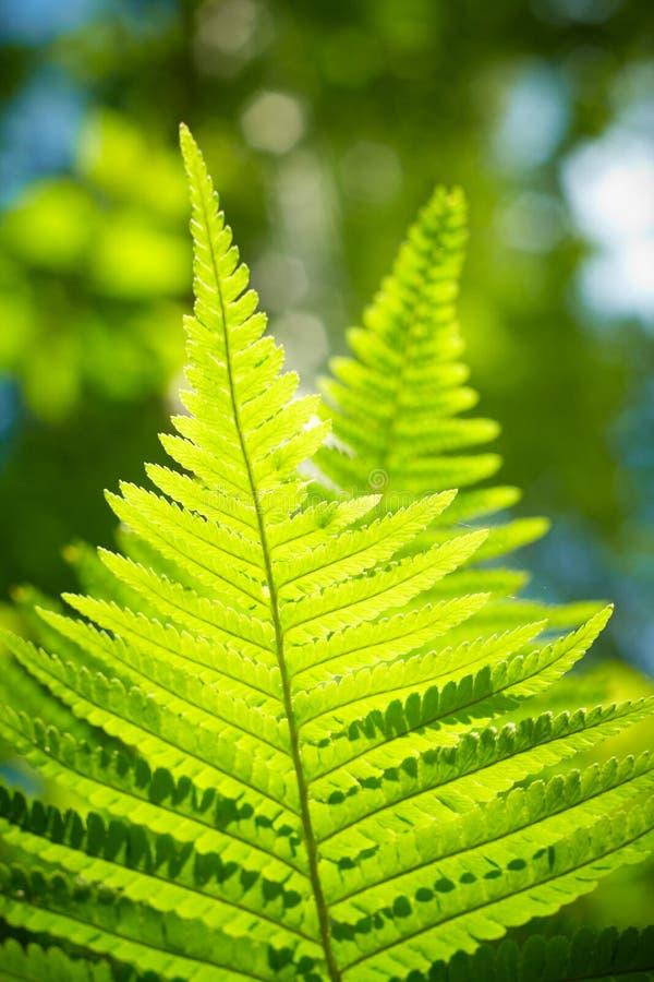Close up verde do fern fotos de stock royalty free