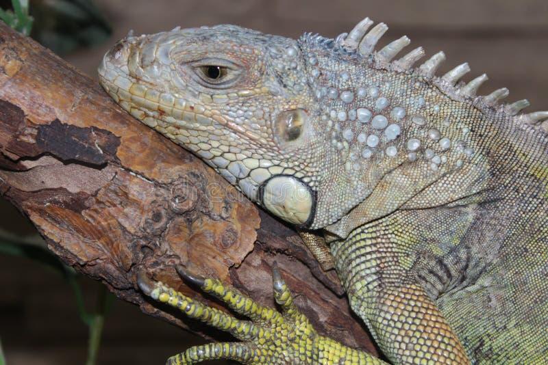 Close up verde do retrato do réptil da iguana imagens de stock