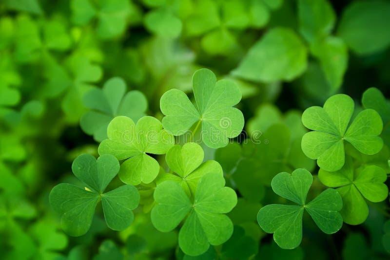 Close up verde do trevo fotos de stock royalty free