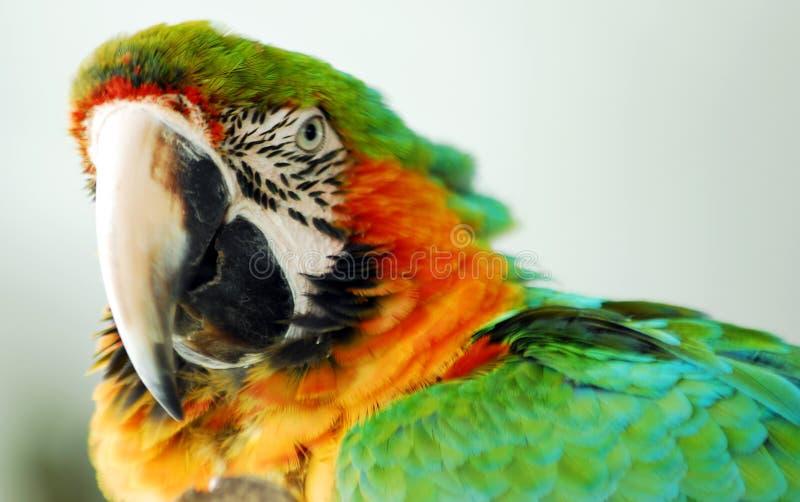 Close up verde e amarelo do pássaro do Macaw da cor da cabeça foto de stock