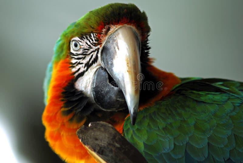 Close up vermelho da cabeça do macaw imagens de stock