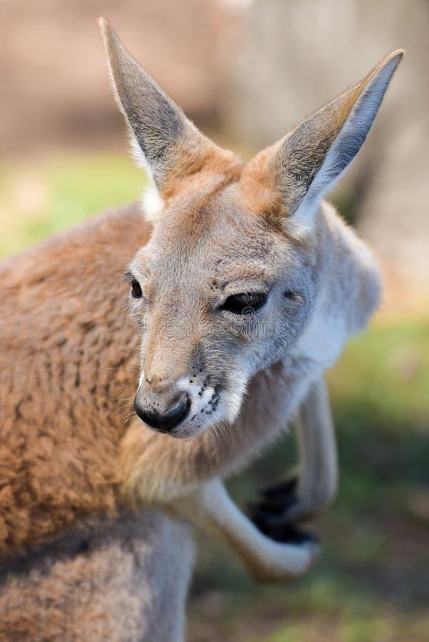 Close-up vermelho do canguru fotografia de stock