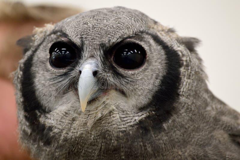Close-up verreaux Eagle-uil - melkachtige adelaarsuil - reuzeadelaarsuil stock afbeeldingen