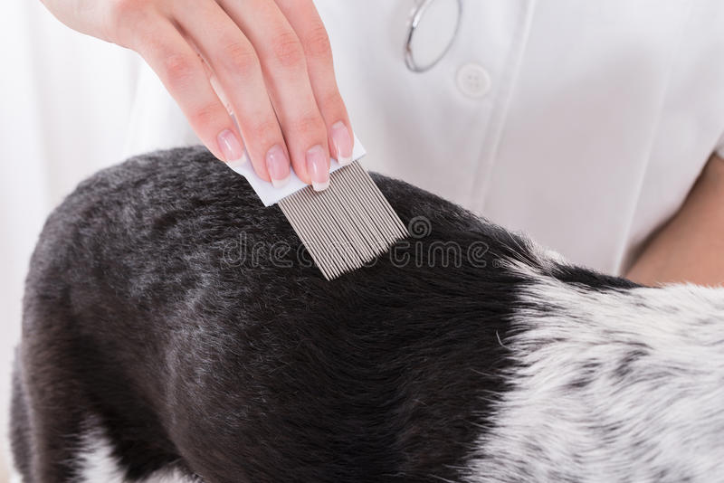 Vet Examining Dog's Hair With Comb. Close-up Of A Vet Examining Dog's Hair With Comb royalty free stock photography