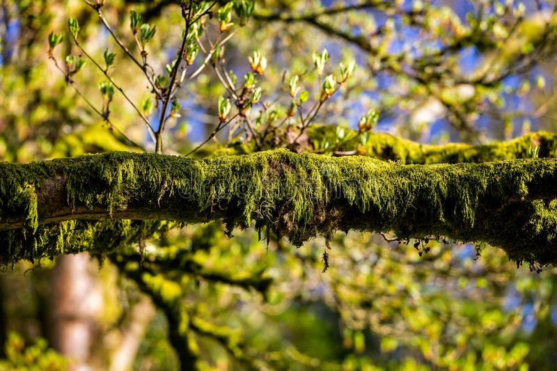 Close up of vibrant green moss covering and hanging on branch royalty free stock photo