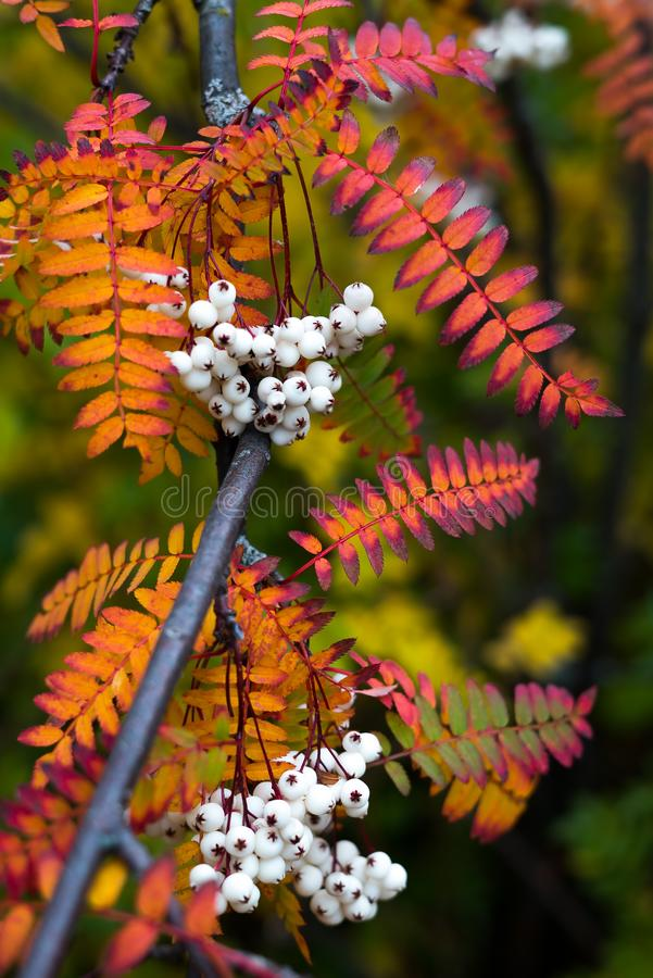 Close up of vibrant orange autumn leaves from Koehne mountain ash, White Fruited Chinese Rowan, with many white berries royalty free stock photography