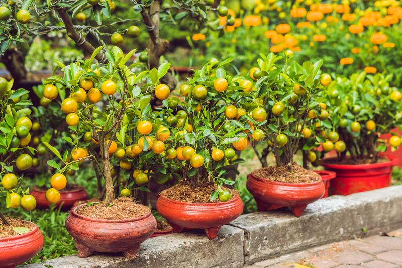 Close up Vibrant orange citrus fruits on a Kumquat tree in honor royalty free stock images