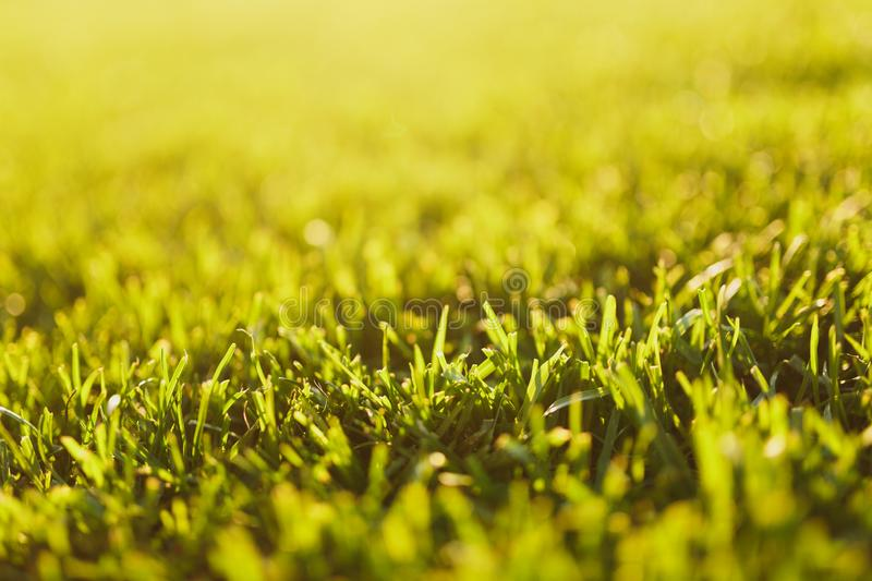 Close up vibrant spring green fresh golf grass, sunshine lawn. Nature texture, green background for wallpaper. Soft royalty free stock photography